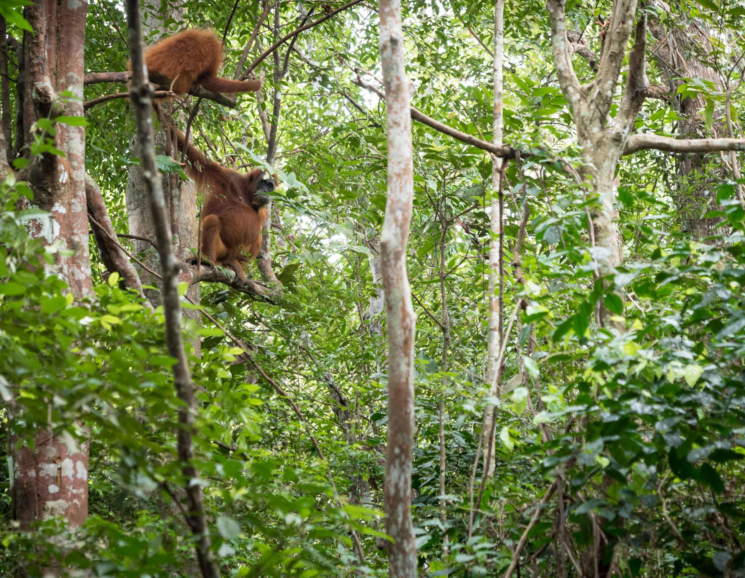 Orange Jungle Apes....