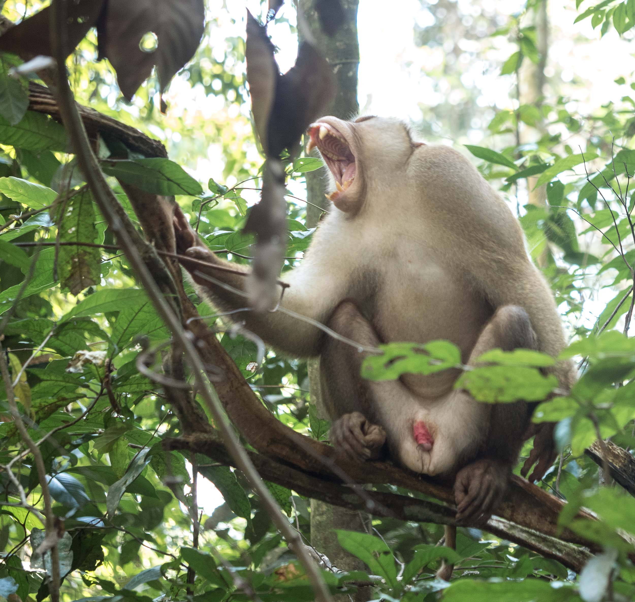 Pig tailed macaque yawning.... He could do with a pair of undies.