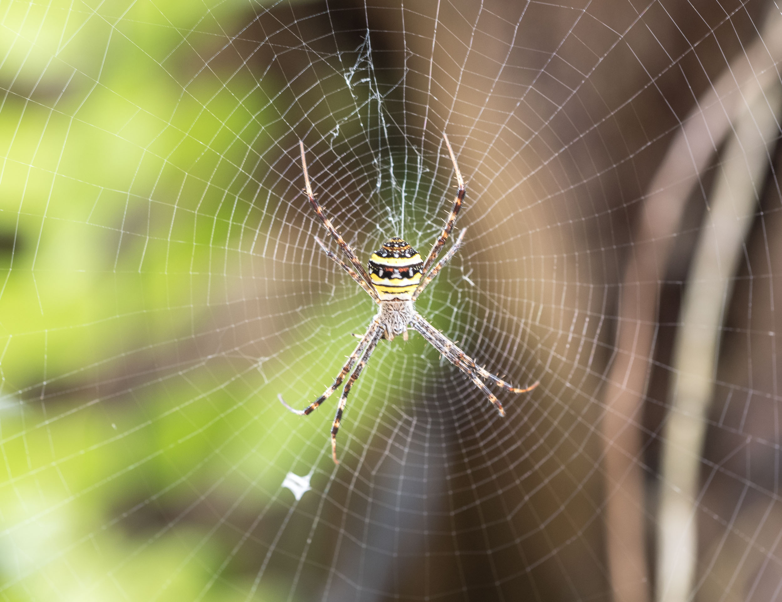 Pretty spider...... Built this web himself..... That's what he says anyway....