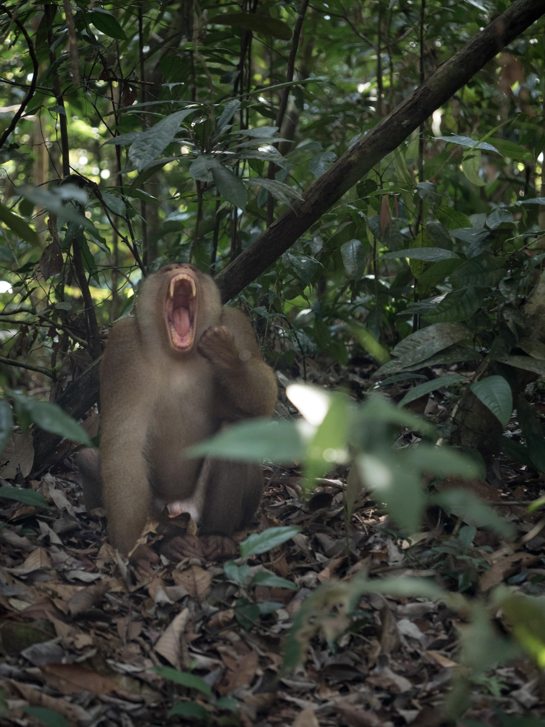 The pig tailed macaque loved the simplicity of 'knock knock' jokes.....