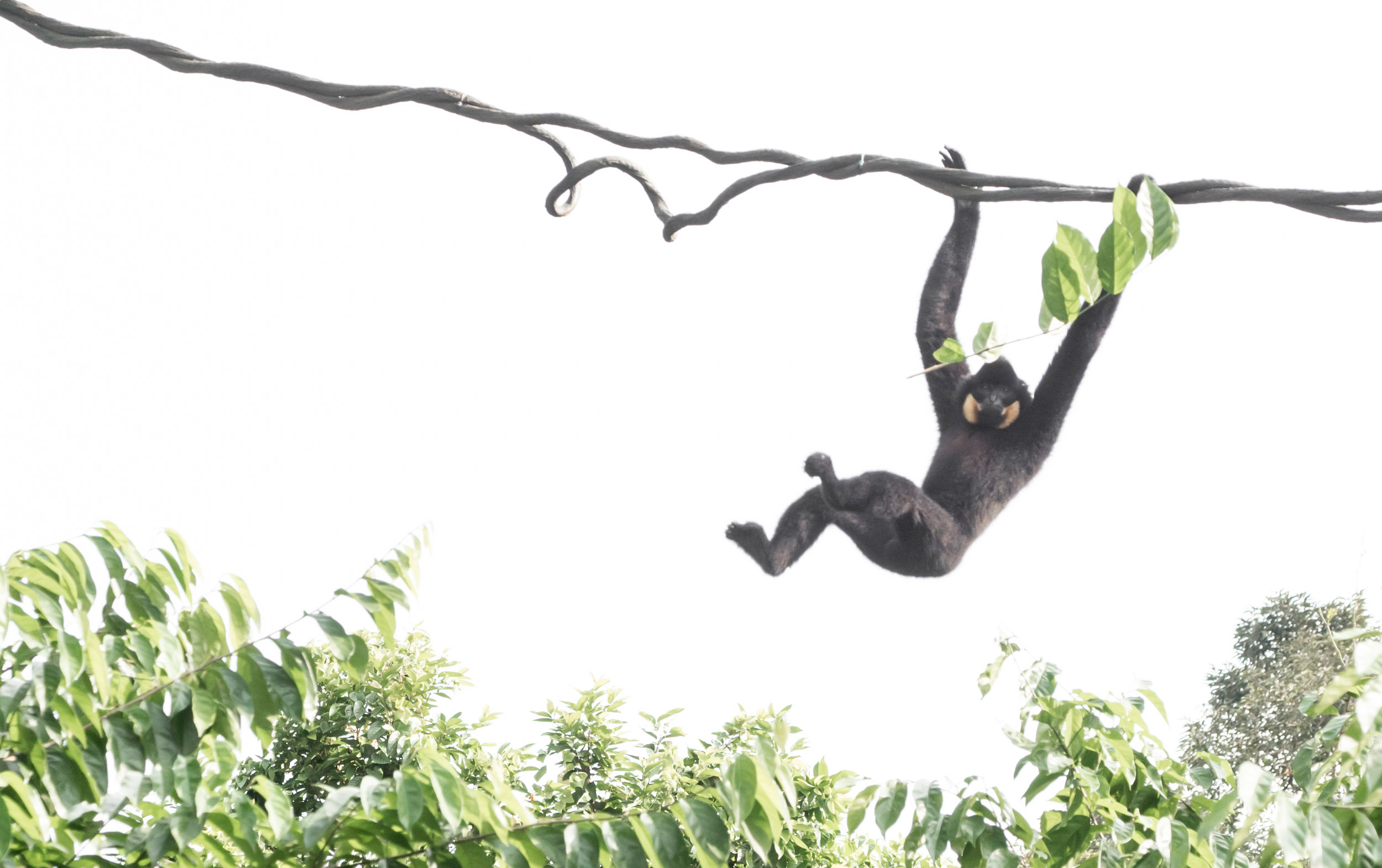 White cheeked gibbon.... Swinging.... Just swinging is all..... Seemed pretty happy.