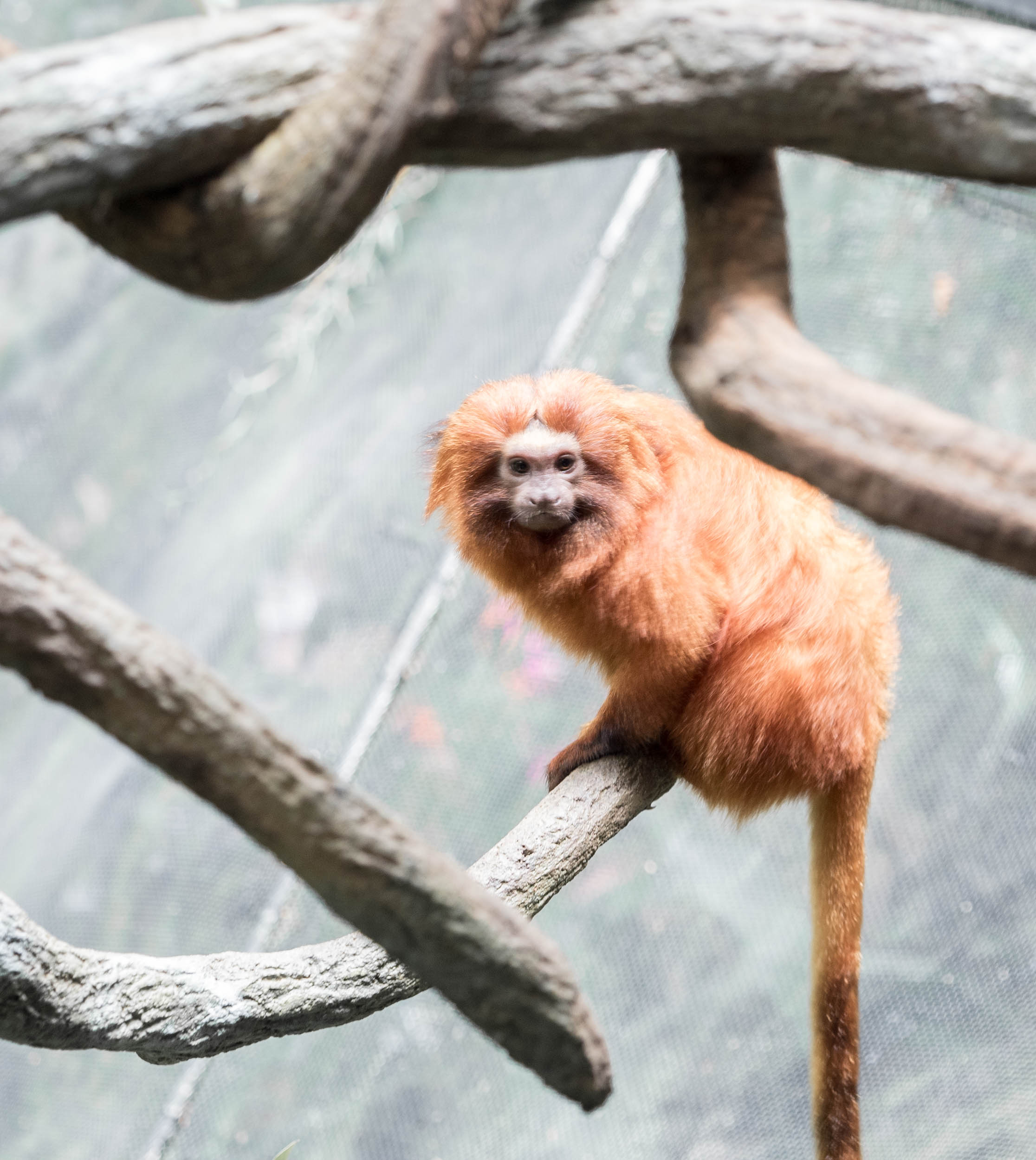 Golden Lion Tamarin, hoped to see one in South America but never did. Small and beautiful.