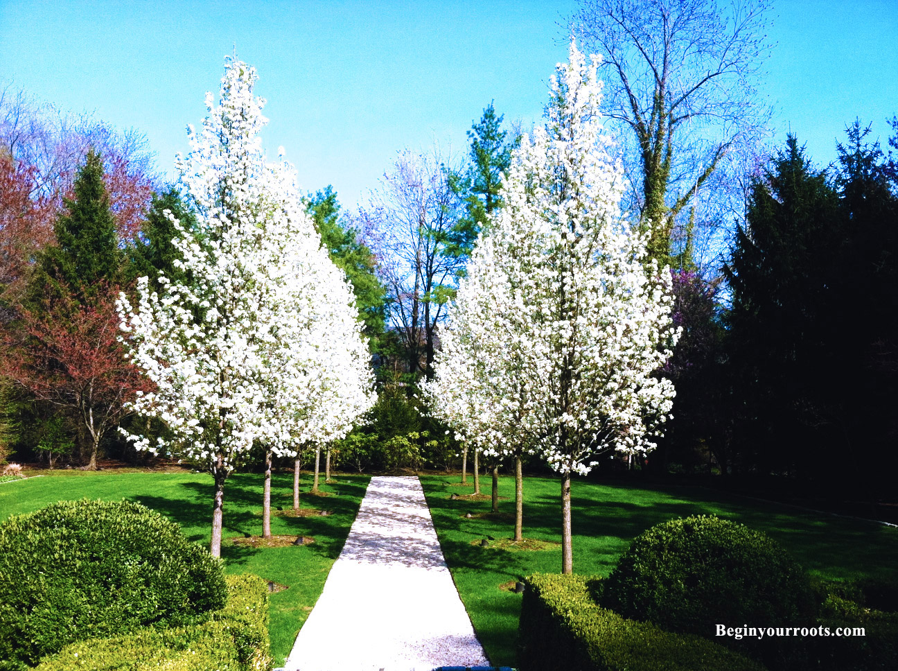 Flowering white Pear tree.jpg