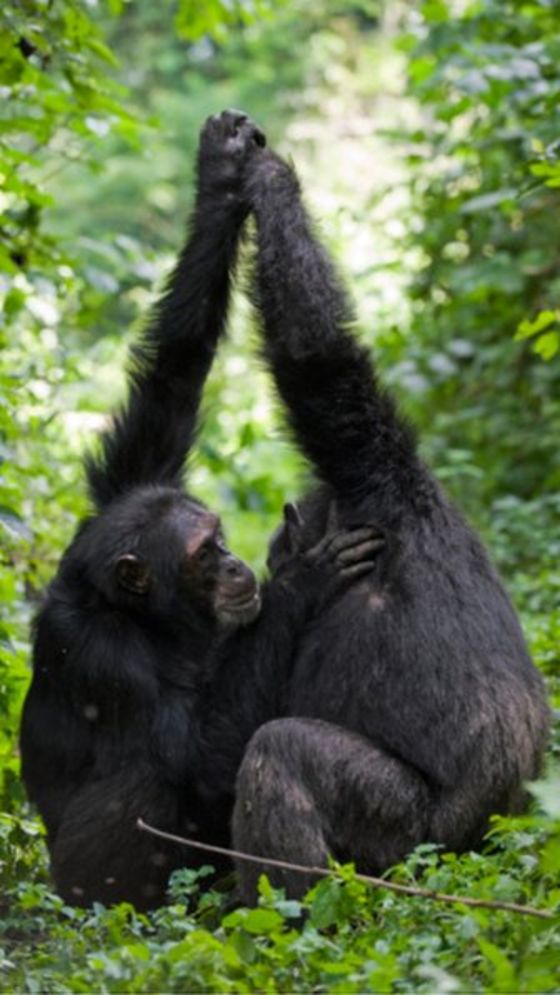 "Chimps exhibiting ""palm to palm clasping"" a type of socially learned grooming. Photo by Suzi Eszterhas."