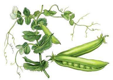 Pea plant,  Pisum sativum . Ink and watercolor by W. Giglioli. Hulton Fine Art Collection