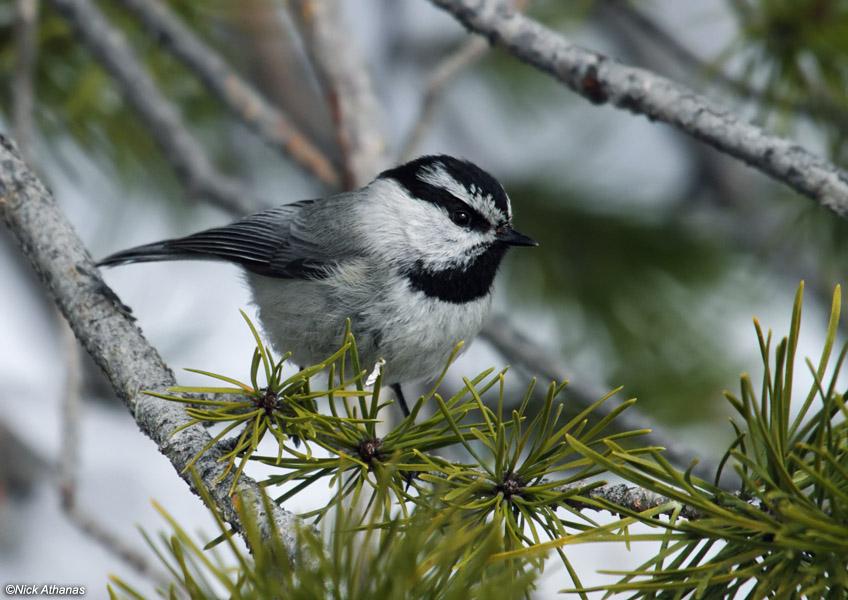 Mountain chickadee,  Poecile gambeli . Photo by  Nick Athanas .