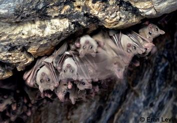 Egyptian fruit bat,  Rousettus aegyptiacus . Photo by Eran Levin.