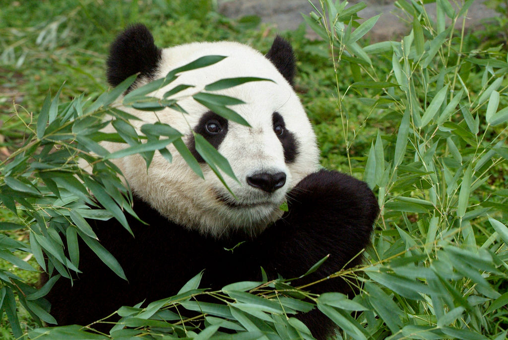 The giant panda Tai Shan in the Smithsonian National Zoo. Photo by Jessie Cohen.