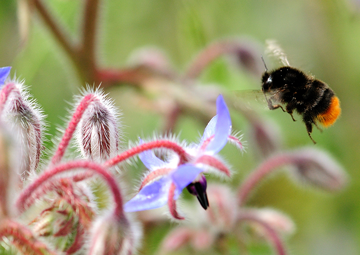 Red-tailed bumblebee,  Bombus lapidarius . Photo by Lucy Hulmes.