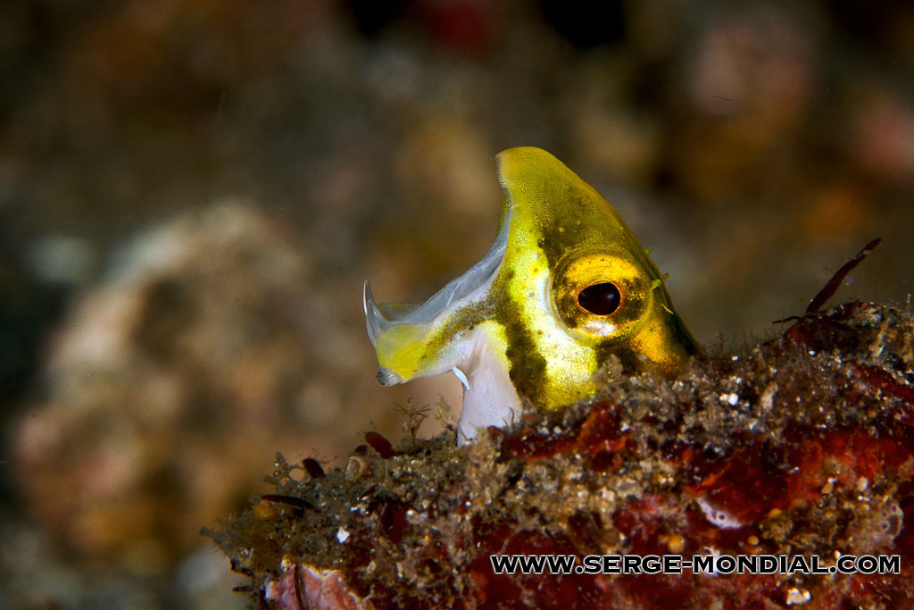 The fangblenny reveals its fangs! Photo by  Serge Abourjeily .