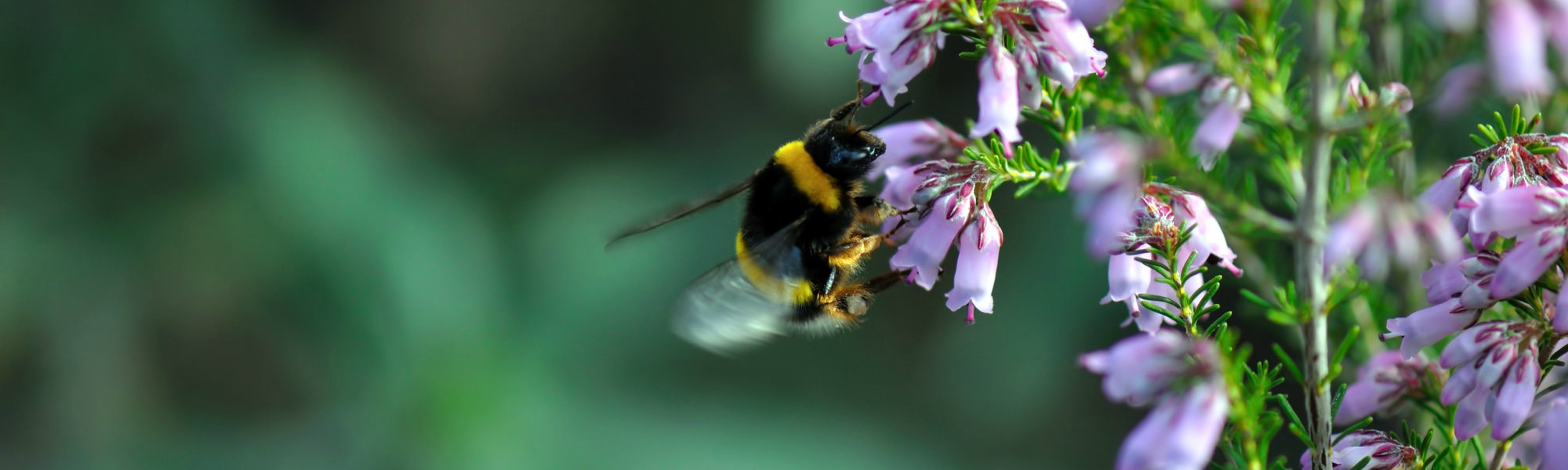 A buff-tailed bumblebee,  Bombus terrestris , visiting heather. Photo by  Steve Slater .
