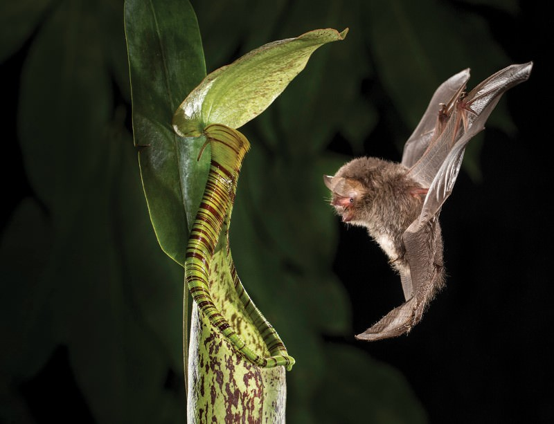 The Bornean bat  Kerivoula hardwickii  approaching the pitcher plant  Nepenthes hemsleyana.