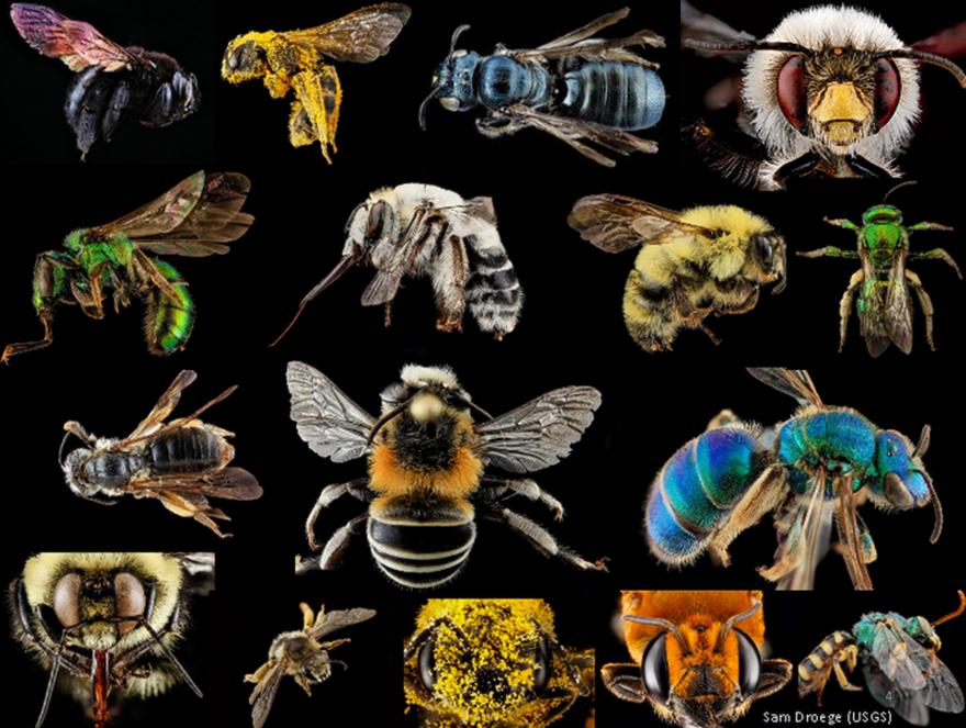 A native bee montage by Sam Droege.