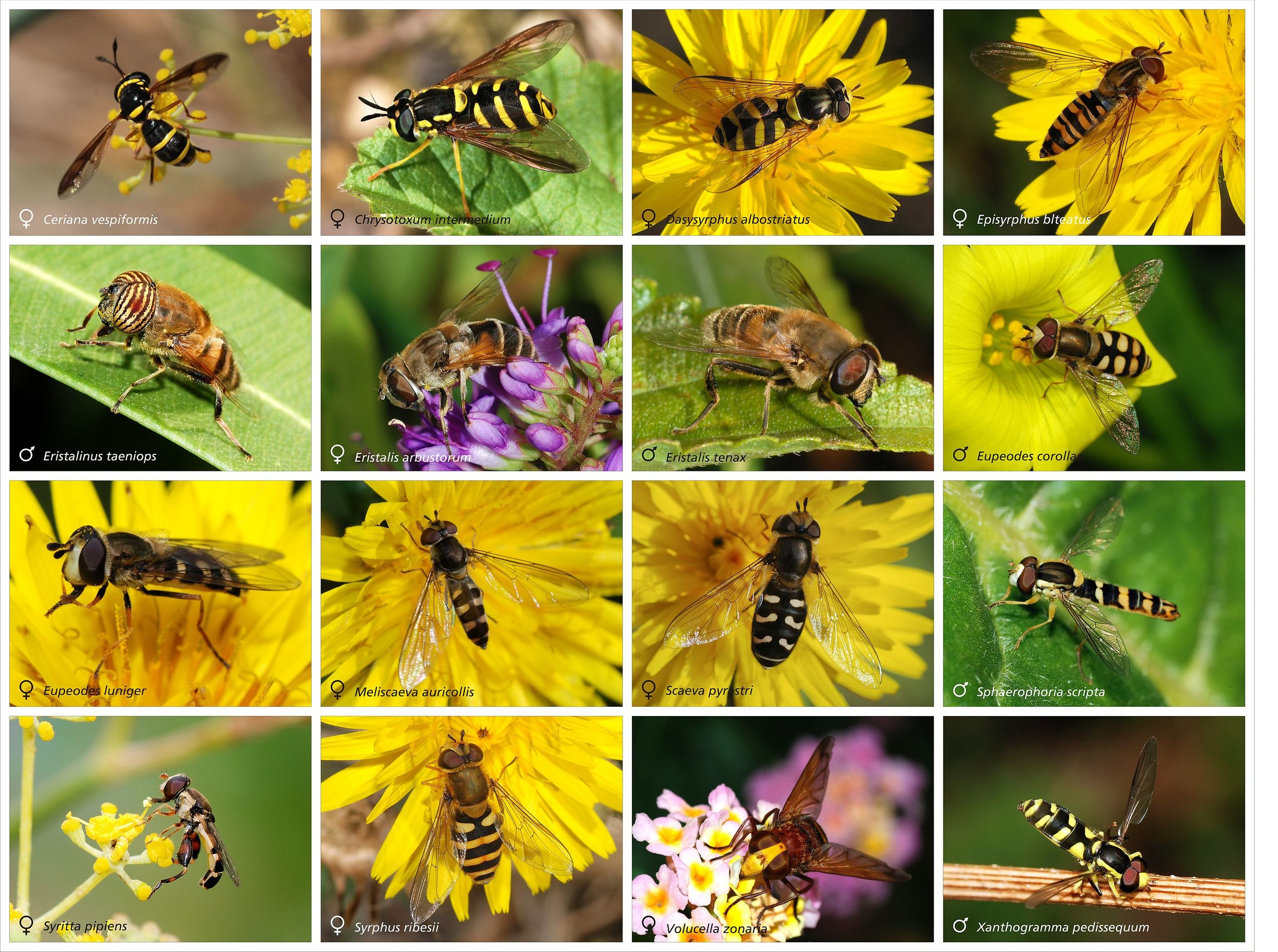 Syrphid flies. Photos and layout by Joaquim Alves Gaspar.