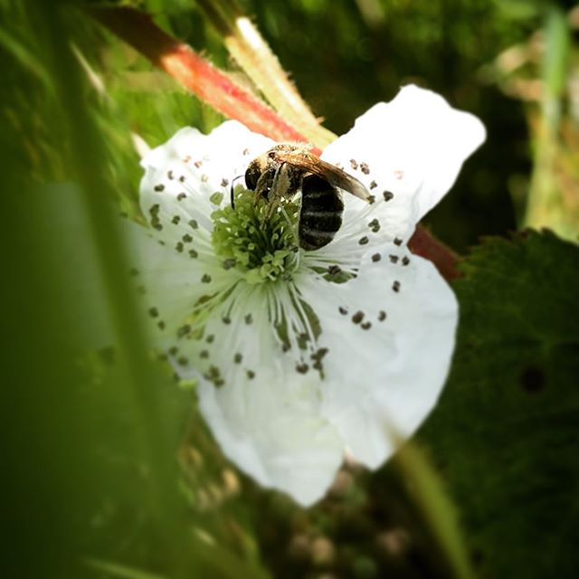 We are still working hard on our pollinator survey! #bee #blackberry