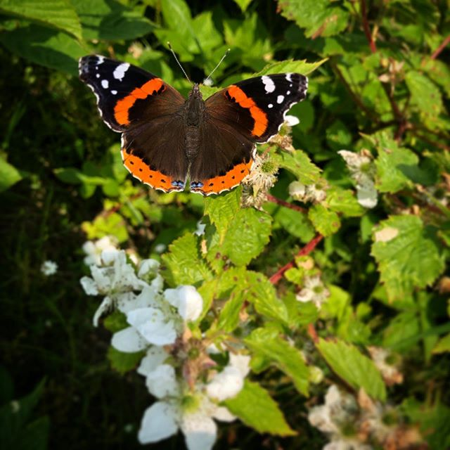 It was a great day for butterflies on the blackberry! #redadmiral #bsskentisland #fieldbiology