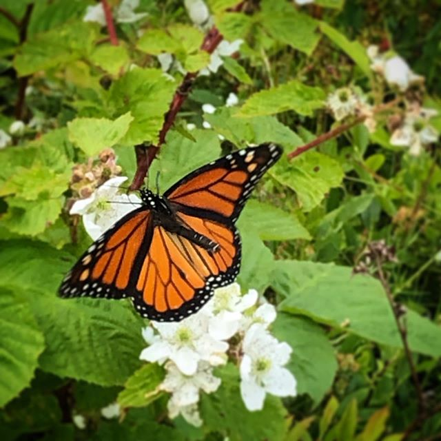 We don't have any milkweed on Kent Island so monarchs like this male are just passing tourists. But we are glad to be here to provide a snack on their journey down the Atlantic! #monarchbutterfly #bsskentisland