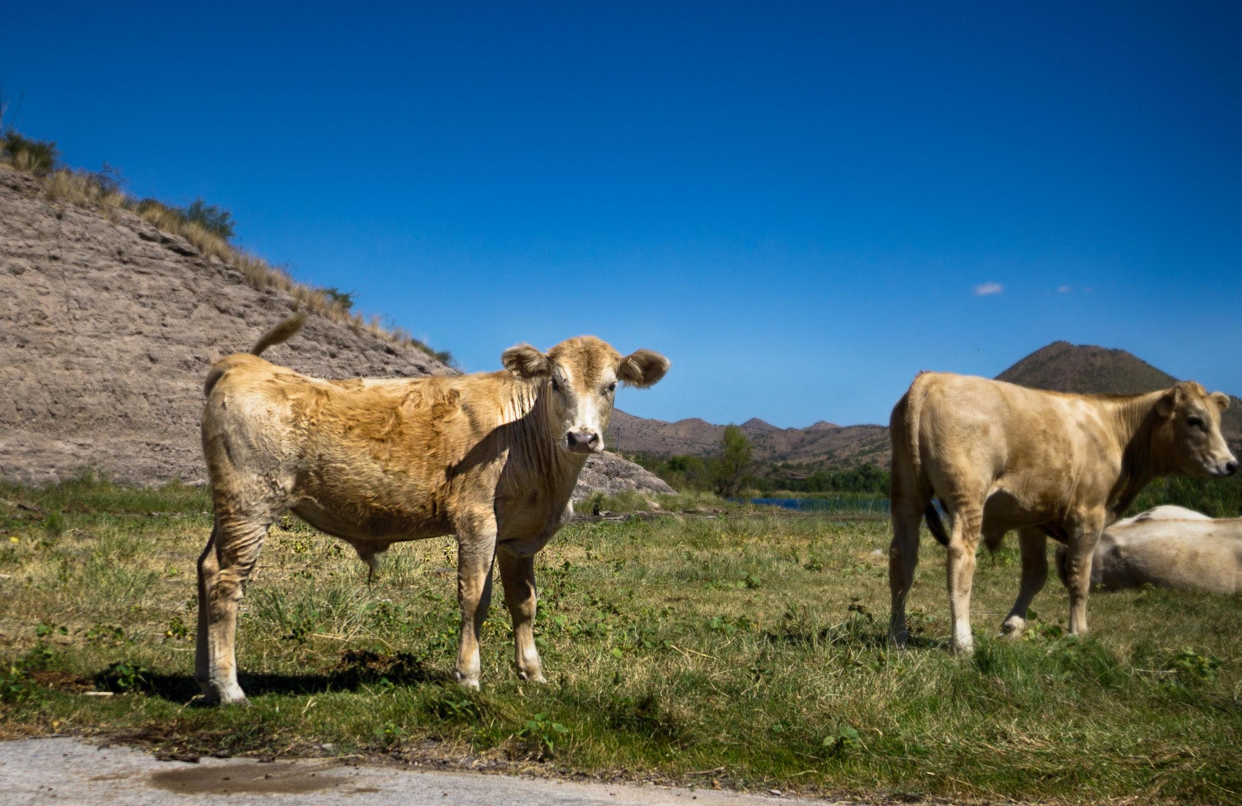 vickygood_photography_nature_arizona_cattle.jpg