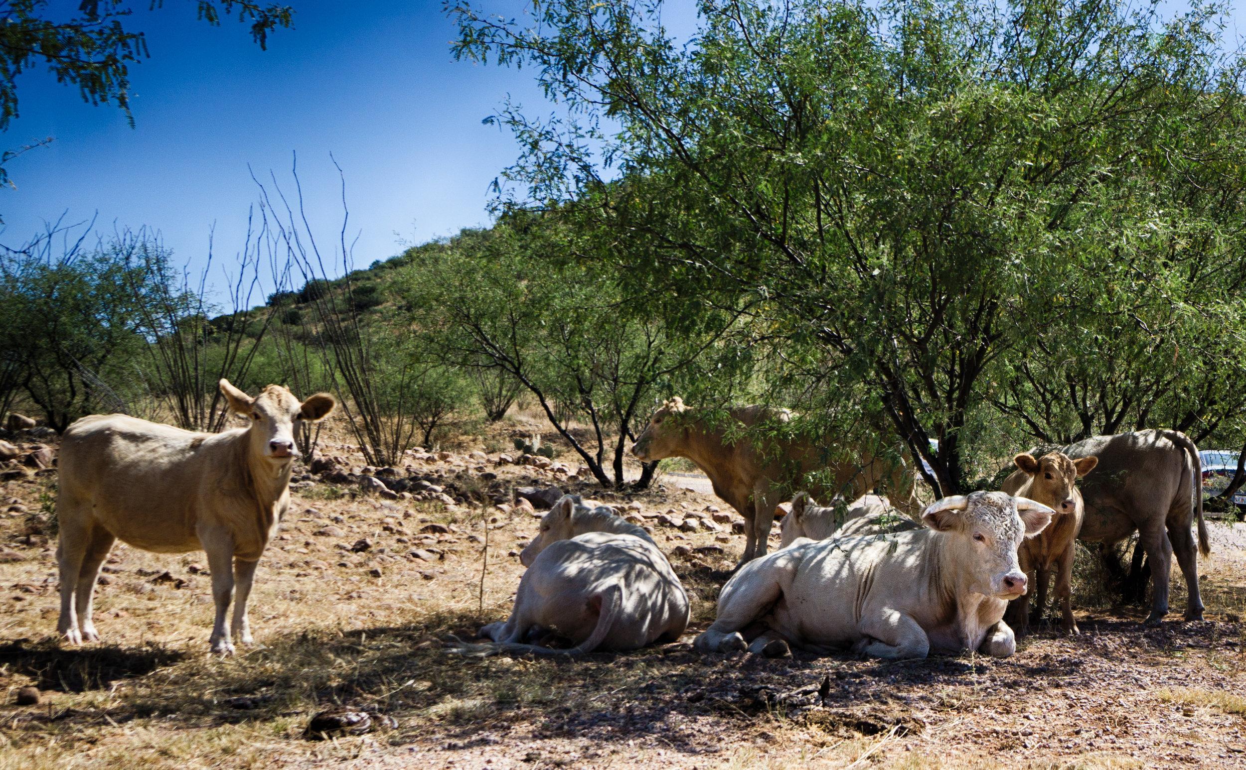 vickygood_photography_nature_arizona_cattle3.jpg