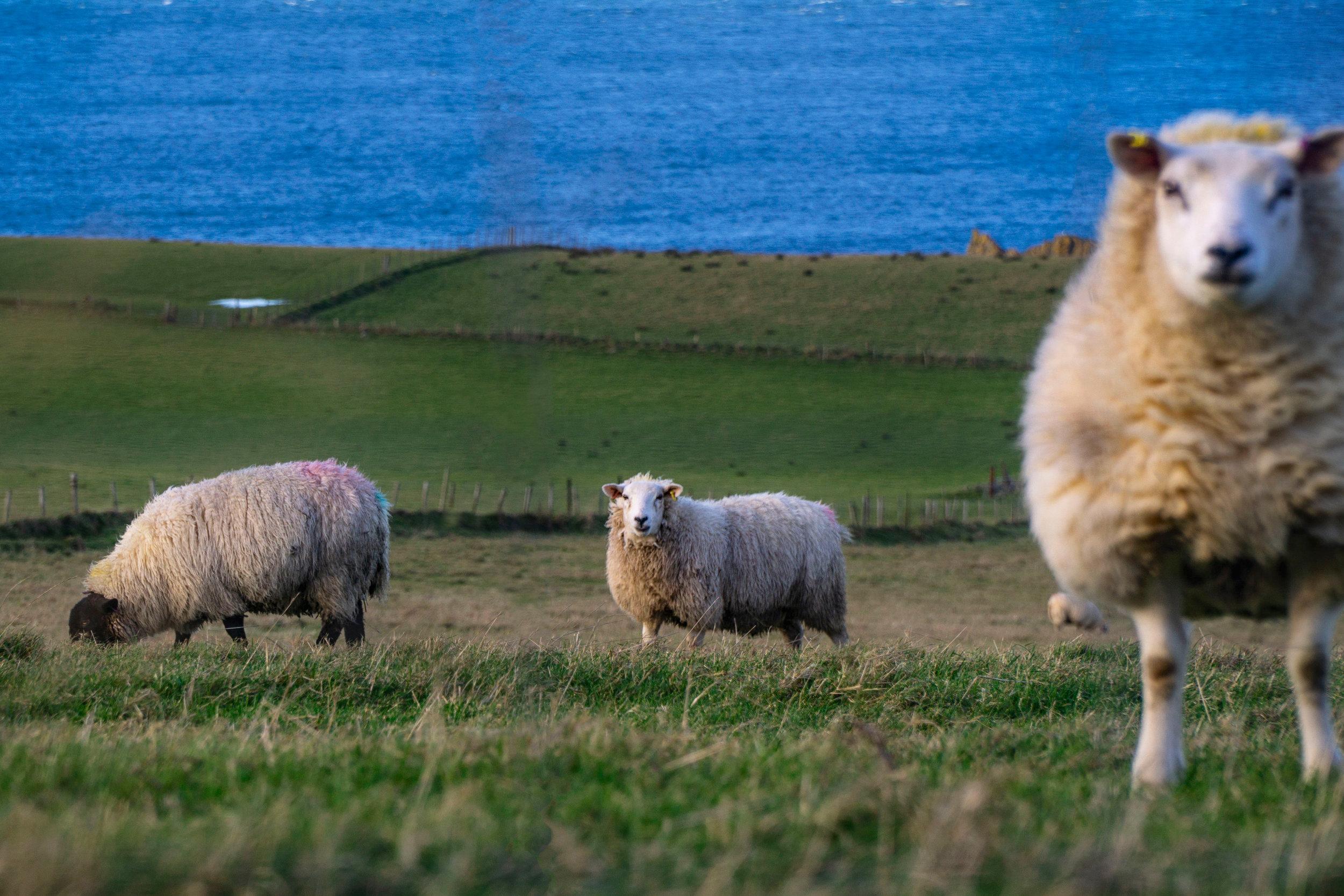 north_irealnd_sheep_vickygood_travel_phototgraphy_sm.jpg
