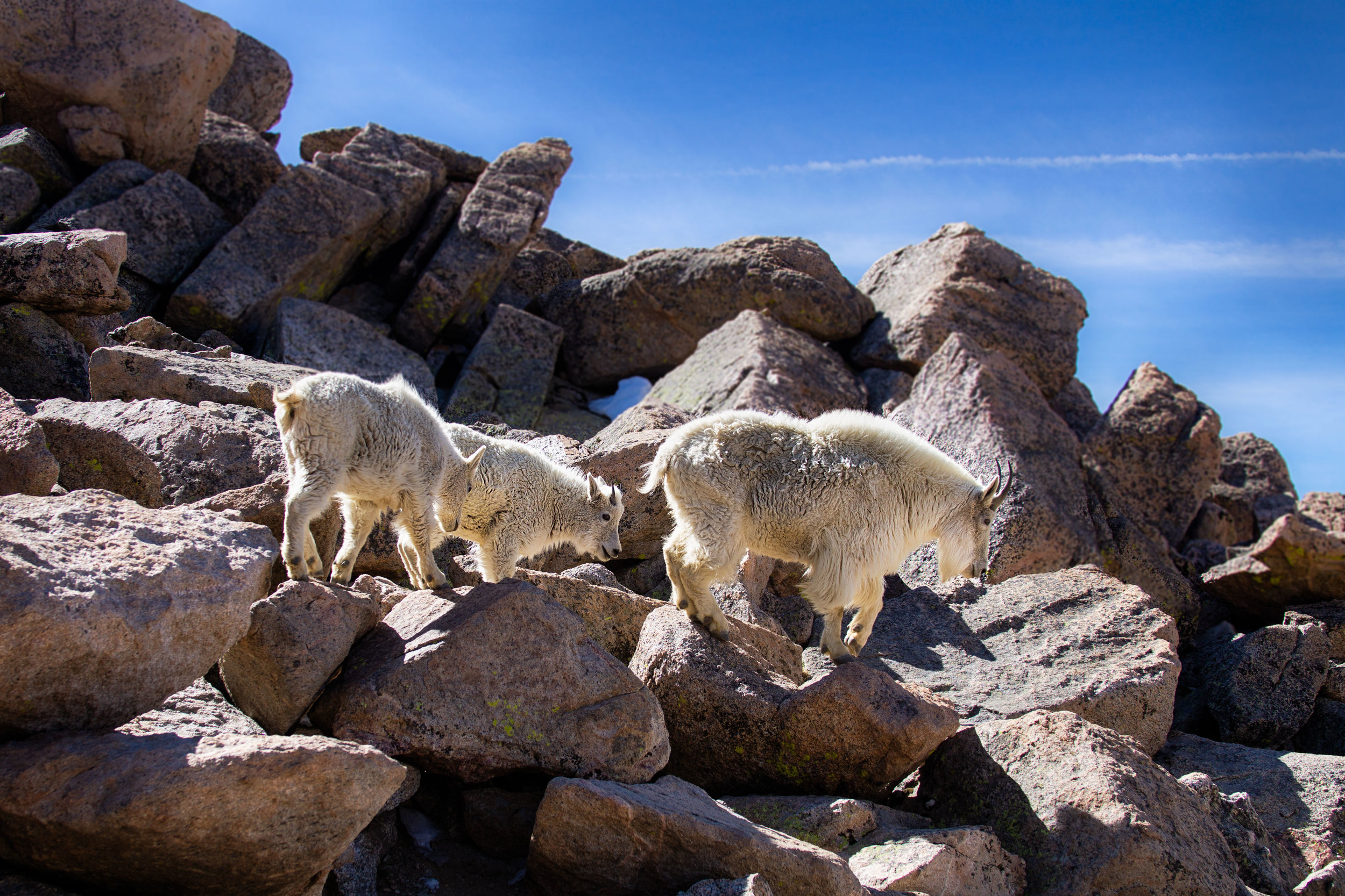 vickygood_travel_photography_colorado_mt.evans_goats5.jpg