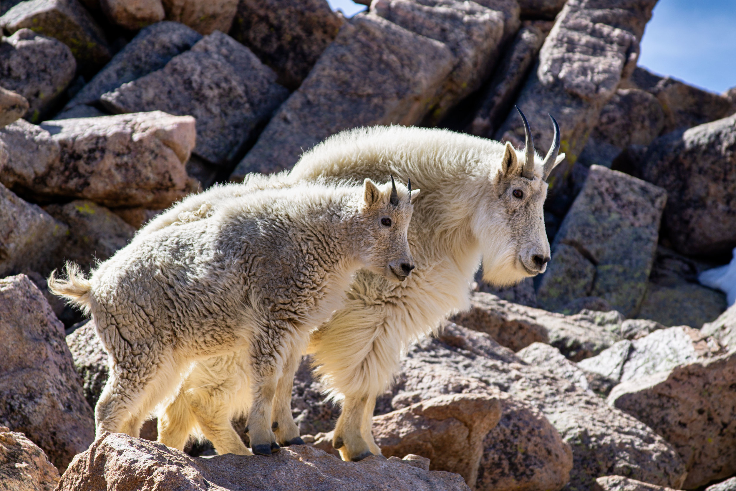 vickygood_travel_photography_colorado_mt.evans_goats6.jpg
