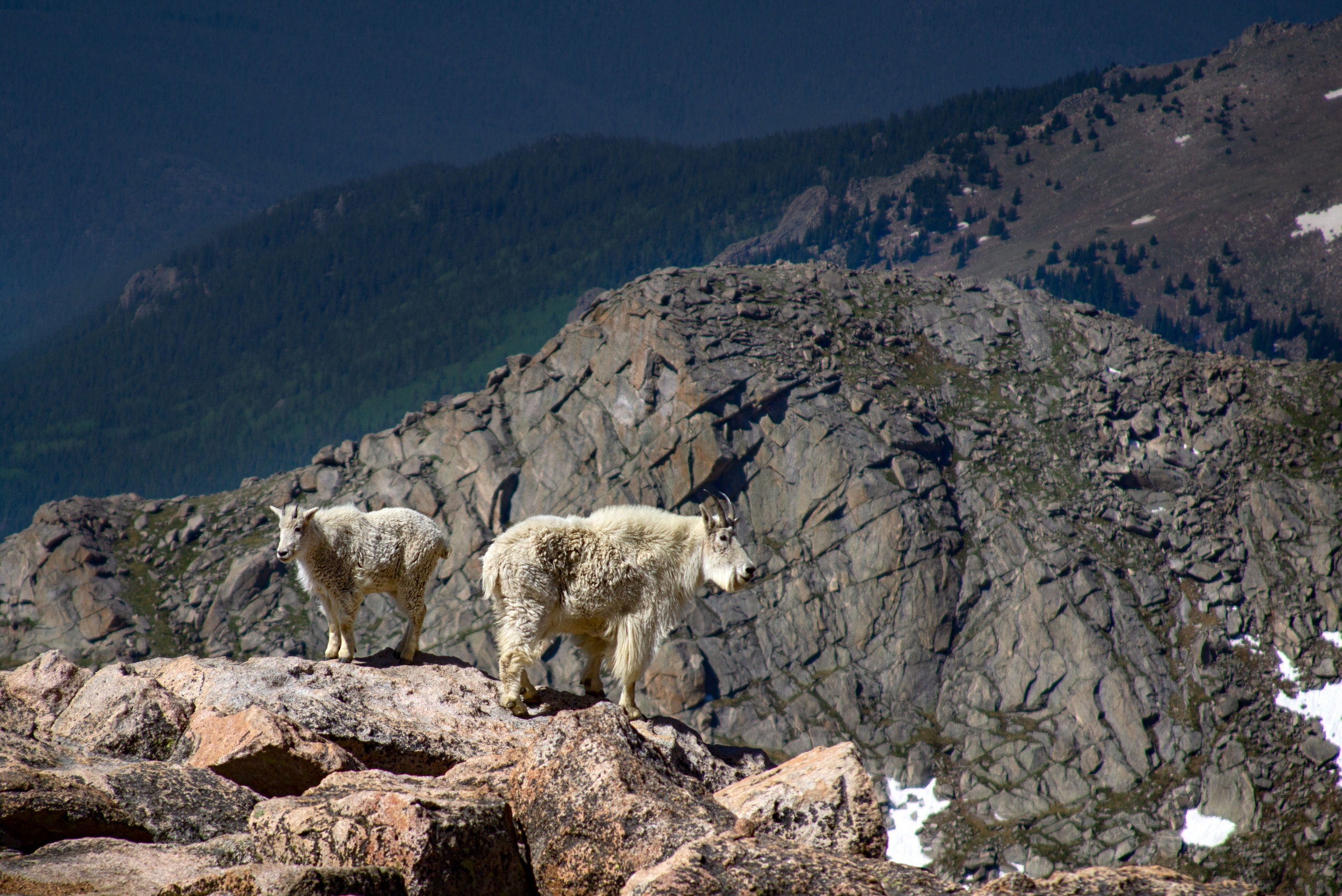 vickygood_travel_photography_colorado_mt.evans_goats10.jpg