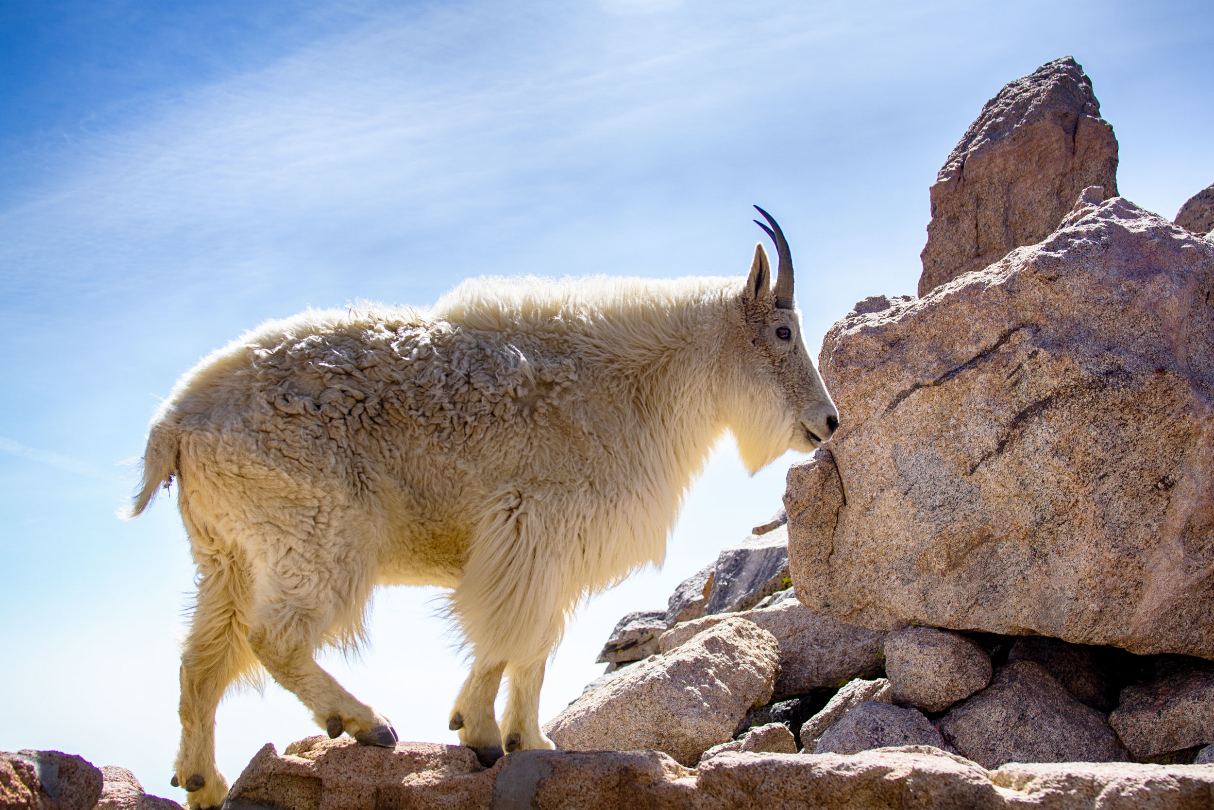 vickygood_travel_photography_colorado_mt.evans_goats8.jpg