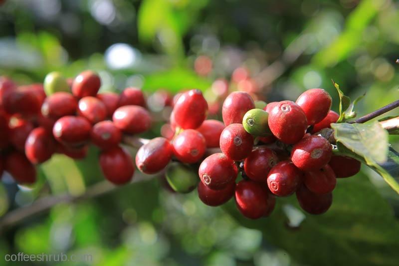 Ripening coffee cherries in the warm sun. Finca Santa Julia.