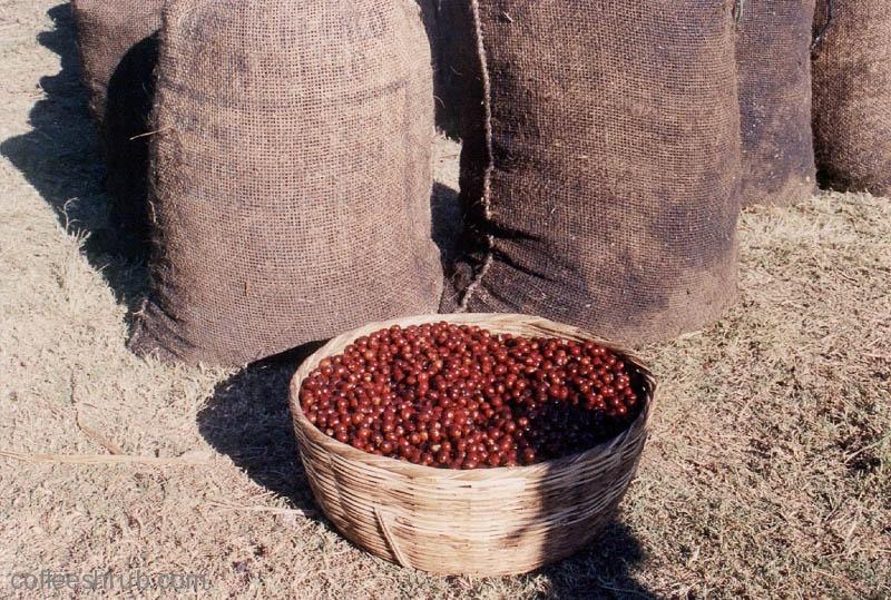 A full days' work of harvesting cherries.