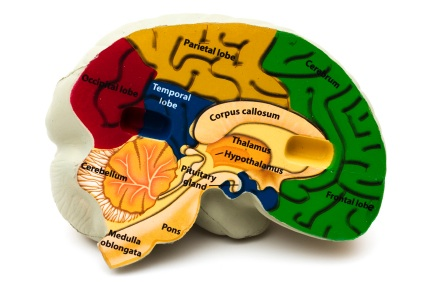 The hypothalamus, labeled on this diagram controls your circadian rhythm, or the body's master clock. It's what makes you wake up for classes and knocks you out after a day of exertion and fun. Photo credit Flickr Creative Commons.