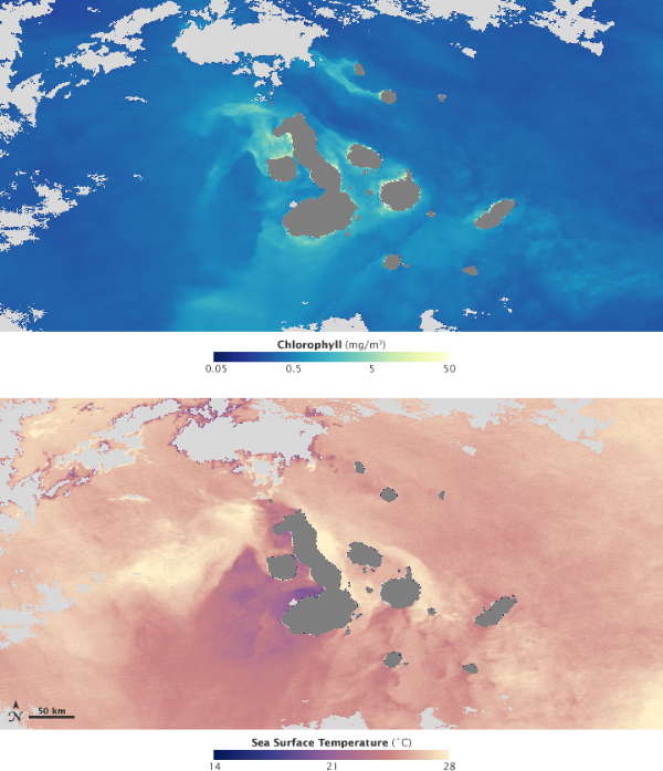 The top satellite photo shows greater concentrations of chlorophyll, which means greater concentrations of algae and phytoplankton, around the Galapagos Islands The second photo shows a satellite's reading of sea surface temperature, which is much colder, around the Galapagos tan in the surrounding water. Photo credit Wikimedia Commons.