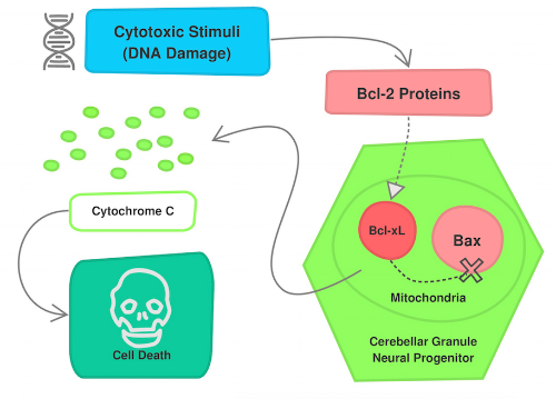 Apoptosis Pathway- Cytotoxic stimuli leads to activation of Bcl-2 proteins which interact with Bcl-xL. Bcl-xL can no longer inhibit active Bax, and Bax leads to release of cytochrome C, ultimately causing cell death. Flowchart adapted from Katie Veleta.