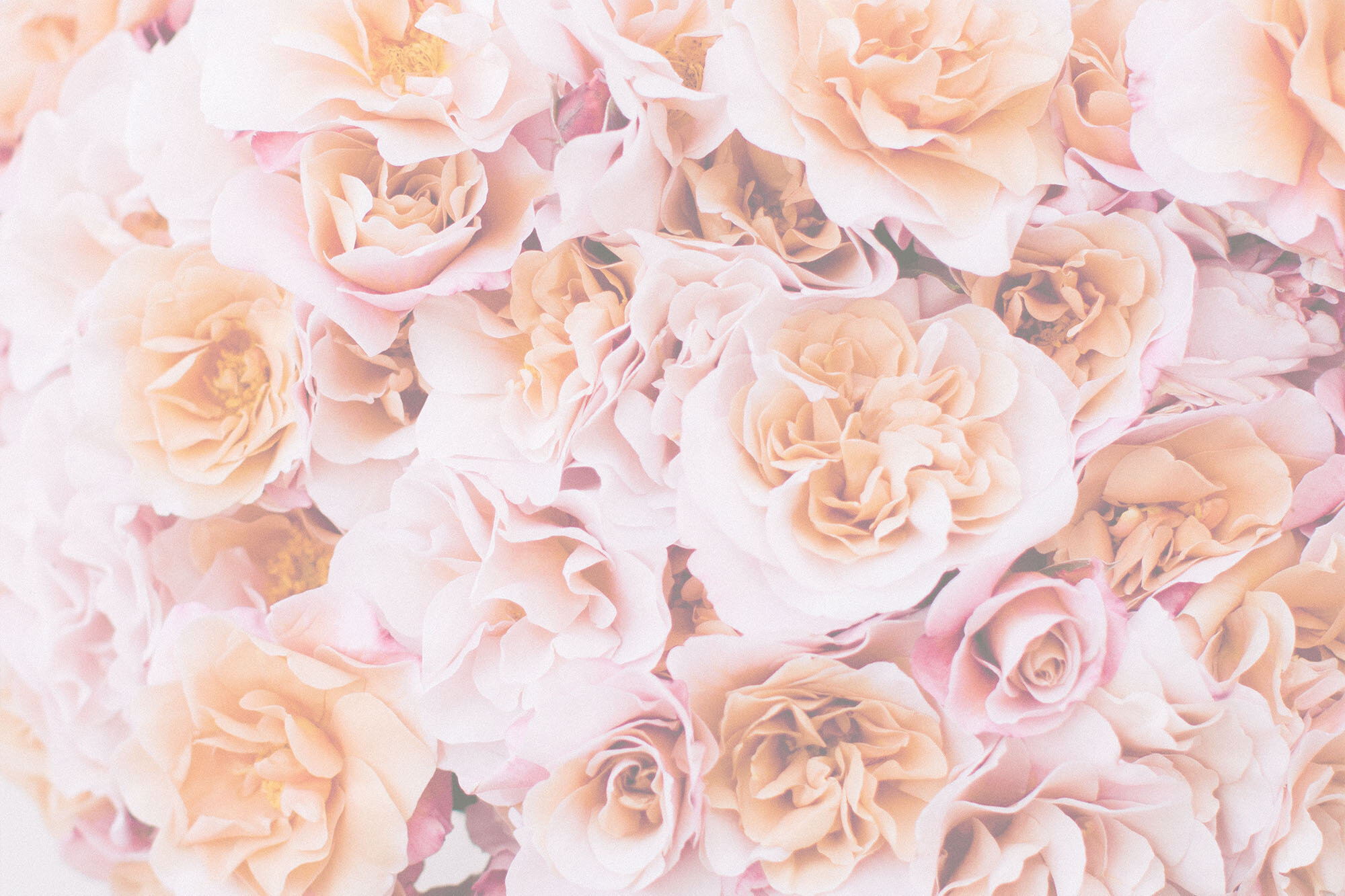 Browse Roses By Color Rose Story Farm