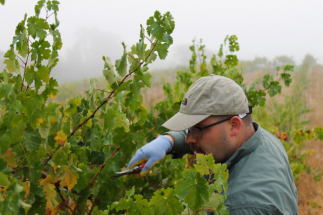 John picking Cabernet