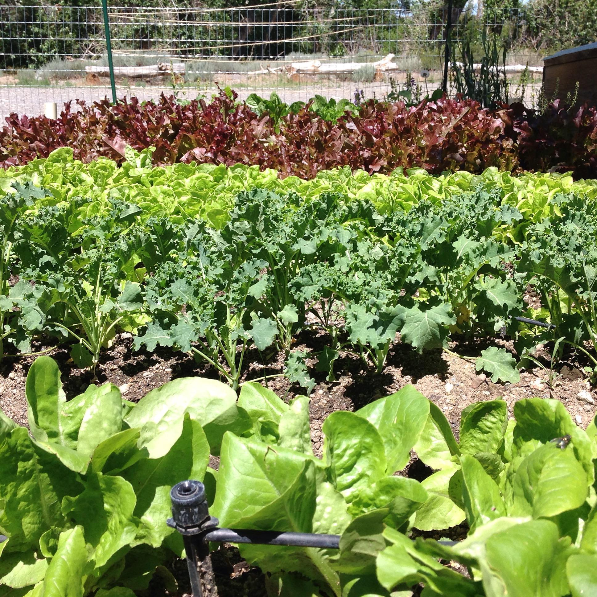 Meadway Farms Lettuce Garden