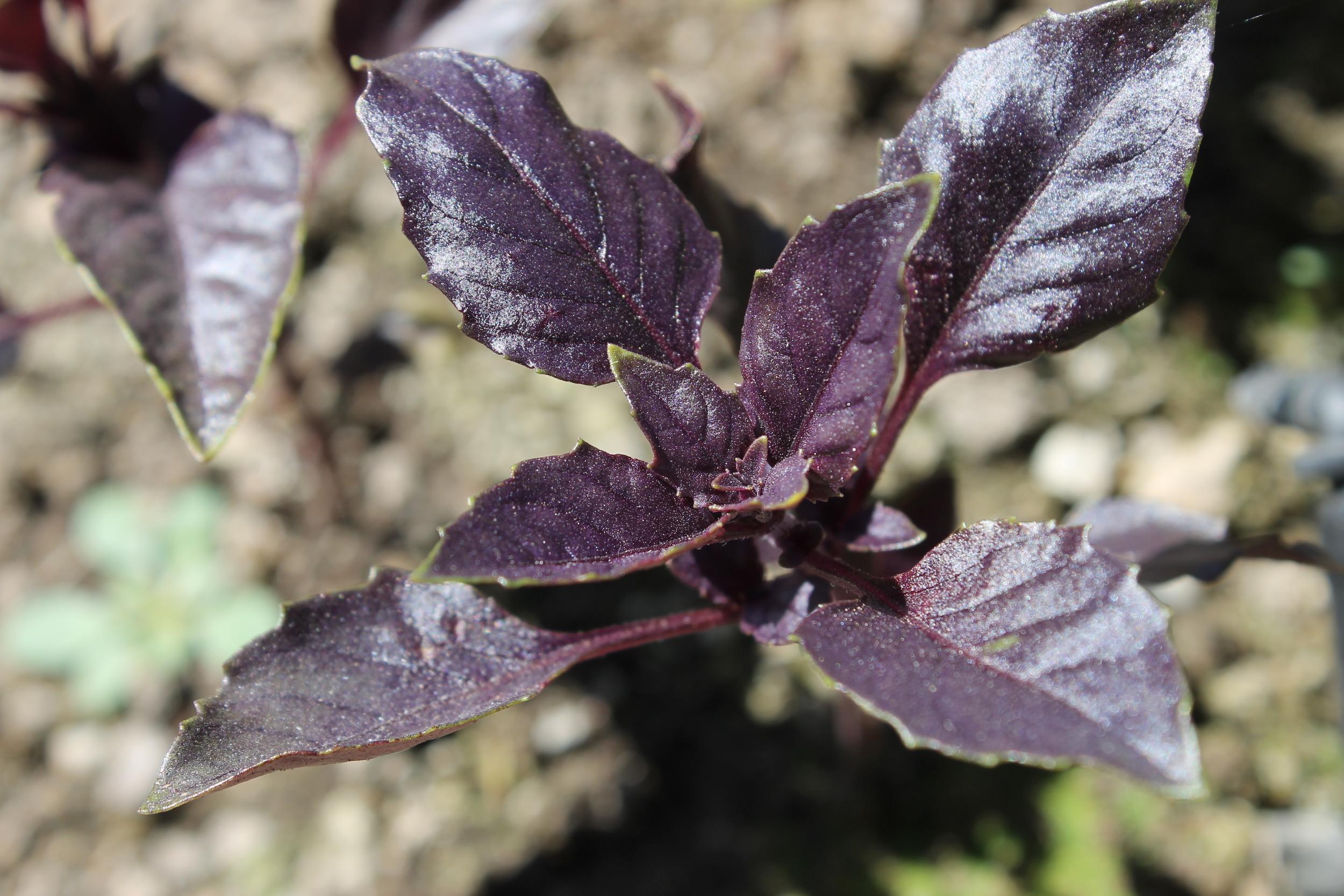 Meadway Farms Purple Basil