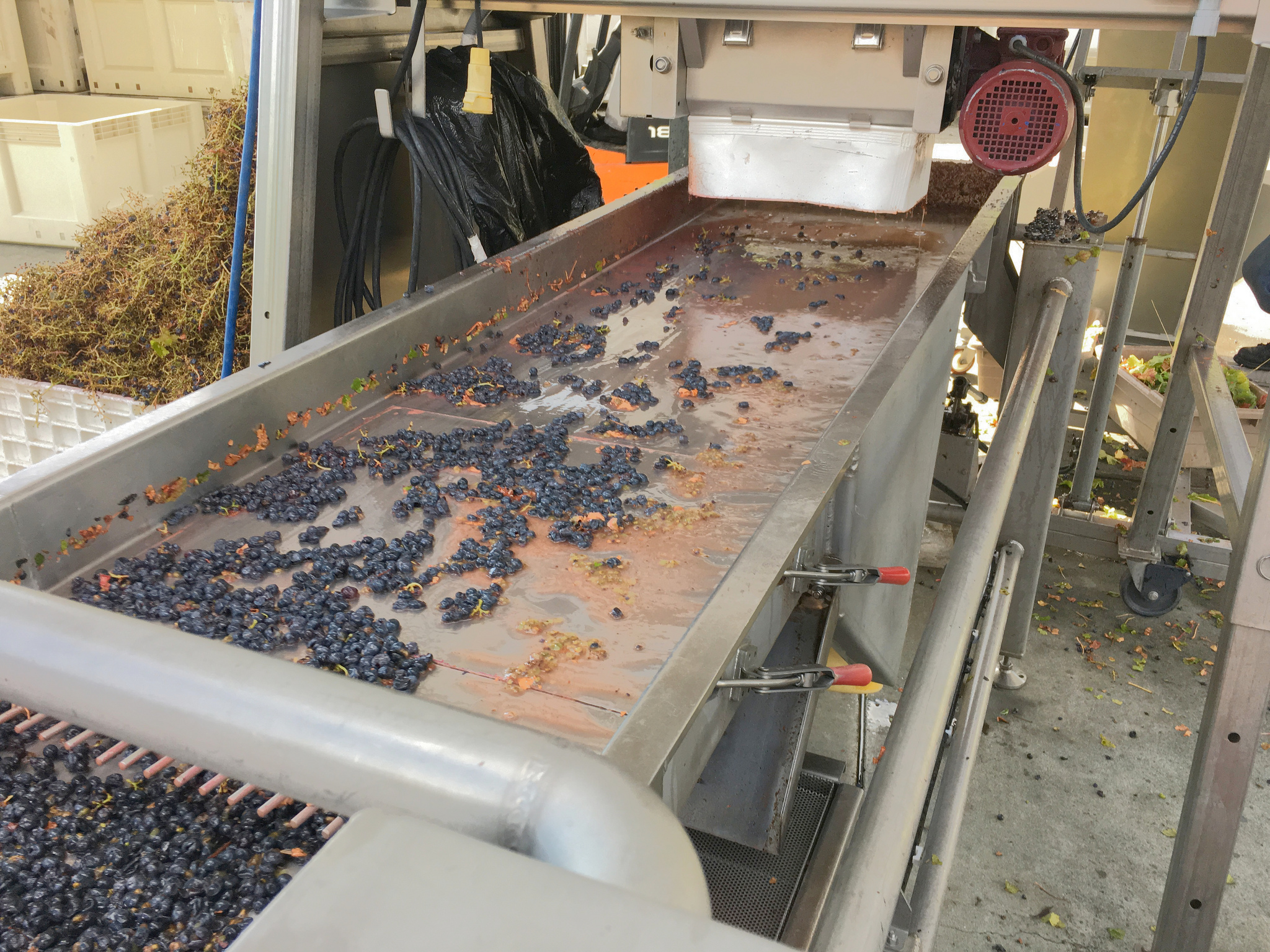 The shaker table is a tool for sorting grapes. Look at all the debris around the table.