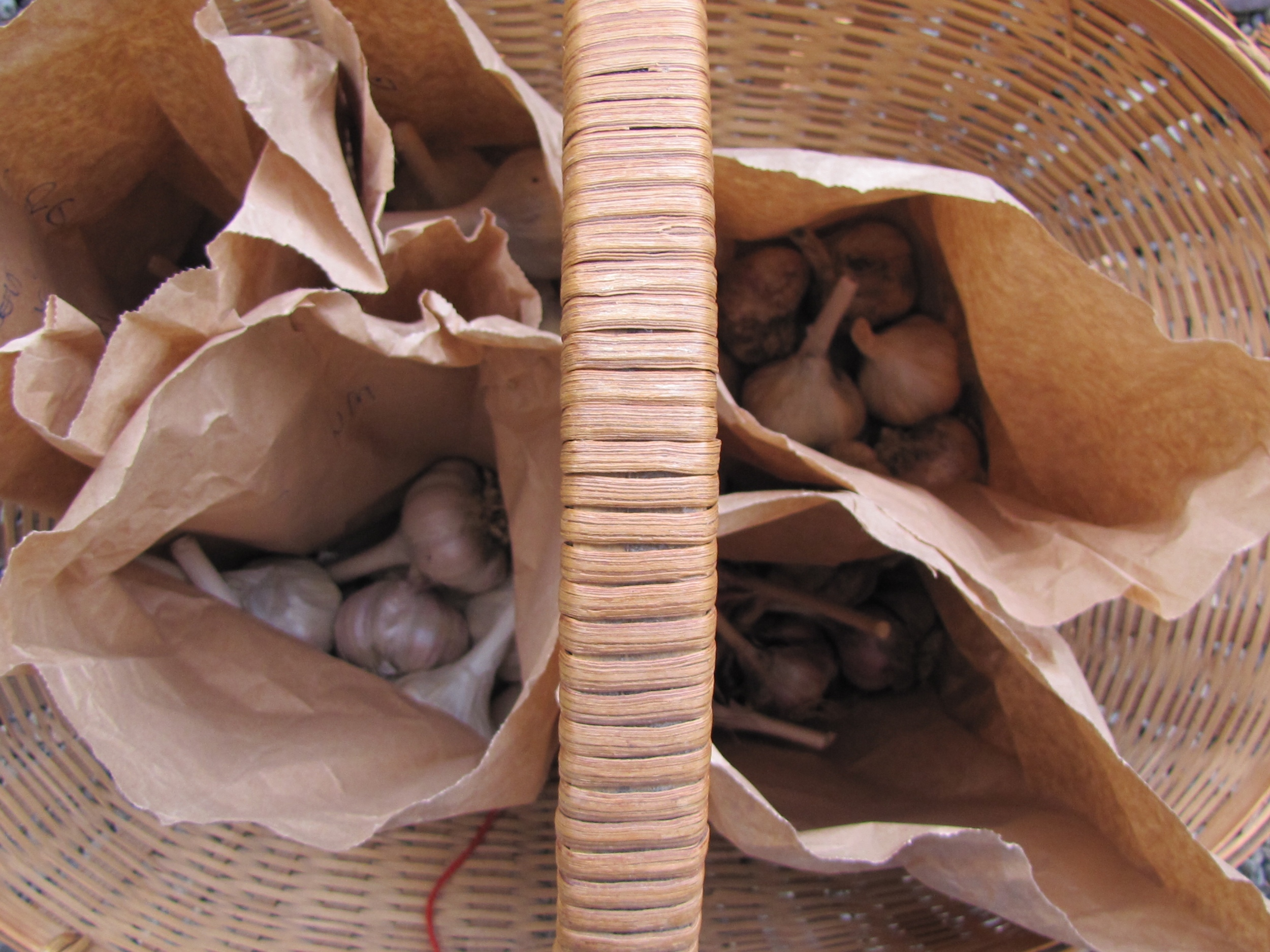 seed garlic selection