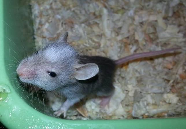 Juvenile African Soft Furred Rat