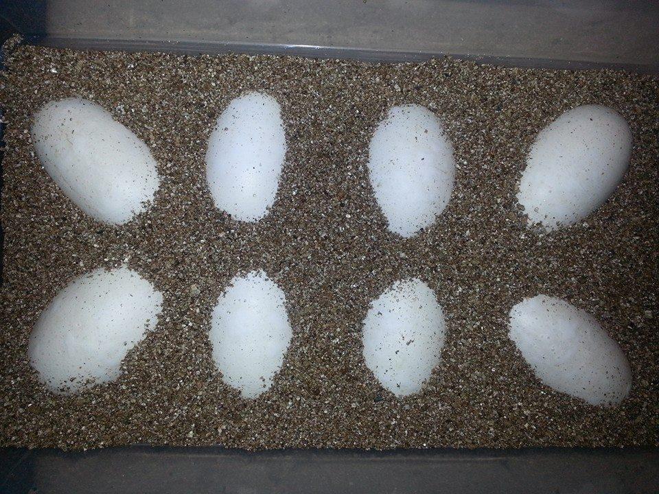 Vermiculite as an incubation medium
