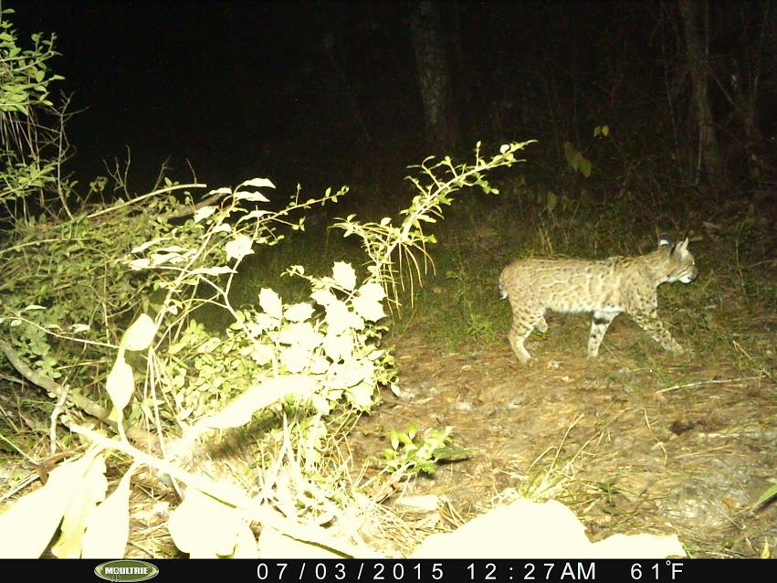 A bobcat captured with a motion-activated camera