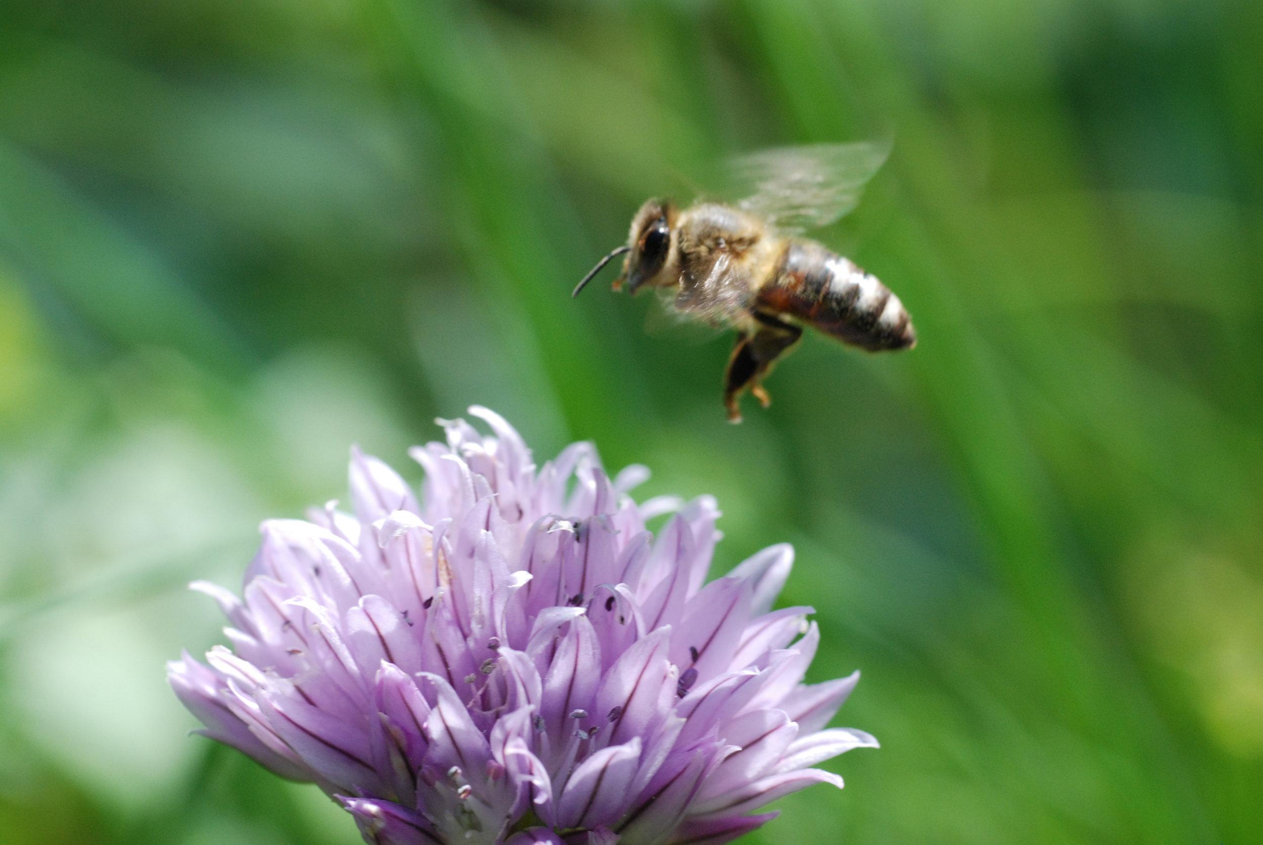 Honey_bee_flying.JPG
