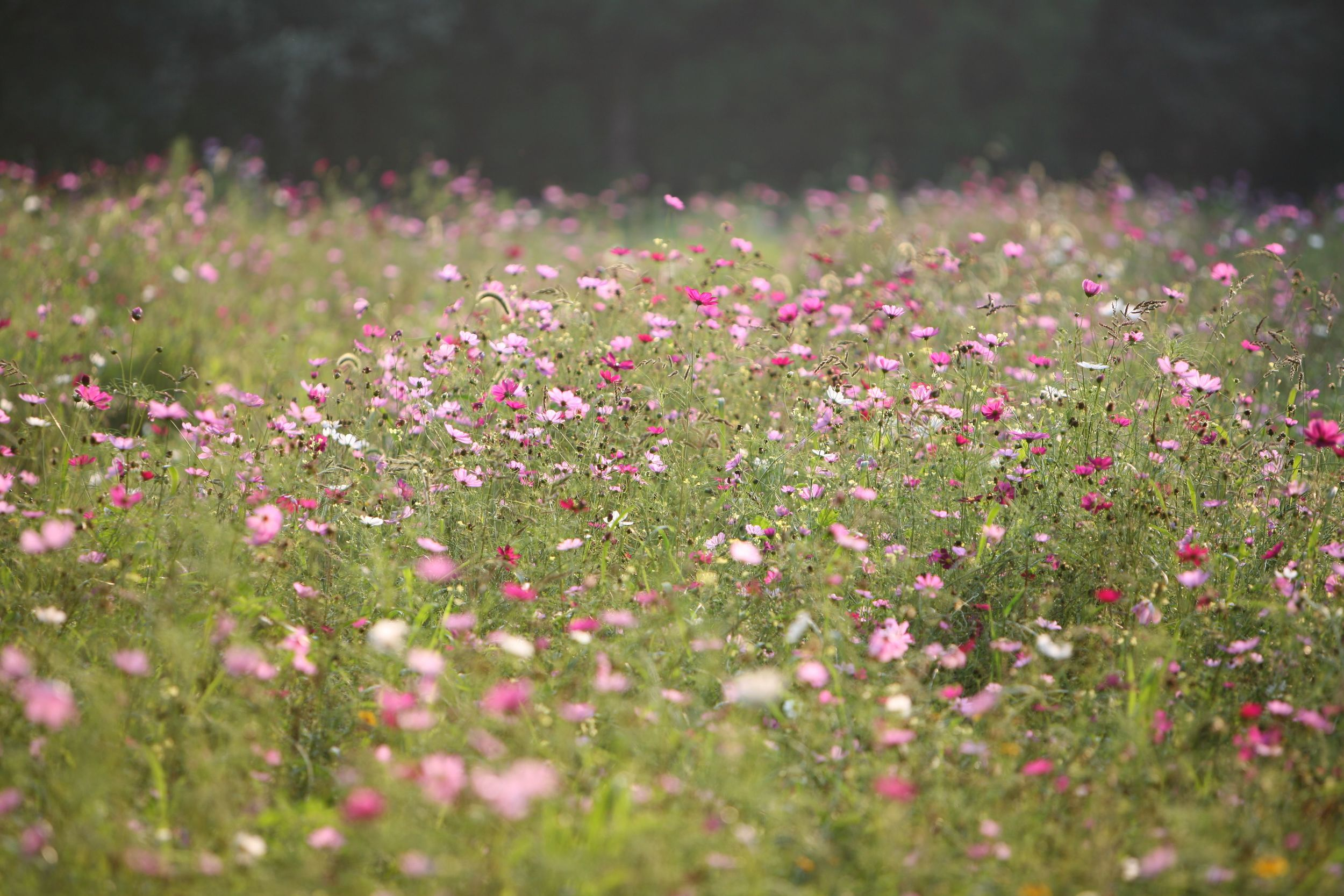 This wild garden features a meadow of cosmos. What's not clear from this photo is that this field is bissected by mown pathways that allow visitors to wander in. Private residence, East Hampton, NY.