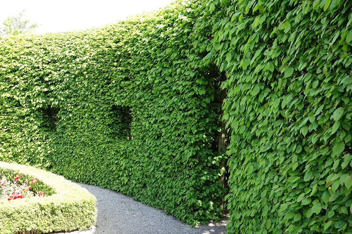 Hornbeam trained over a wood trellis at the Prinsetuin includes windows and doorways.  Groningen  ,  The Netherlands.