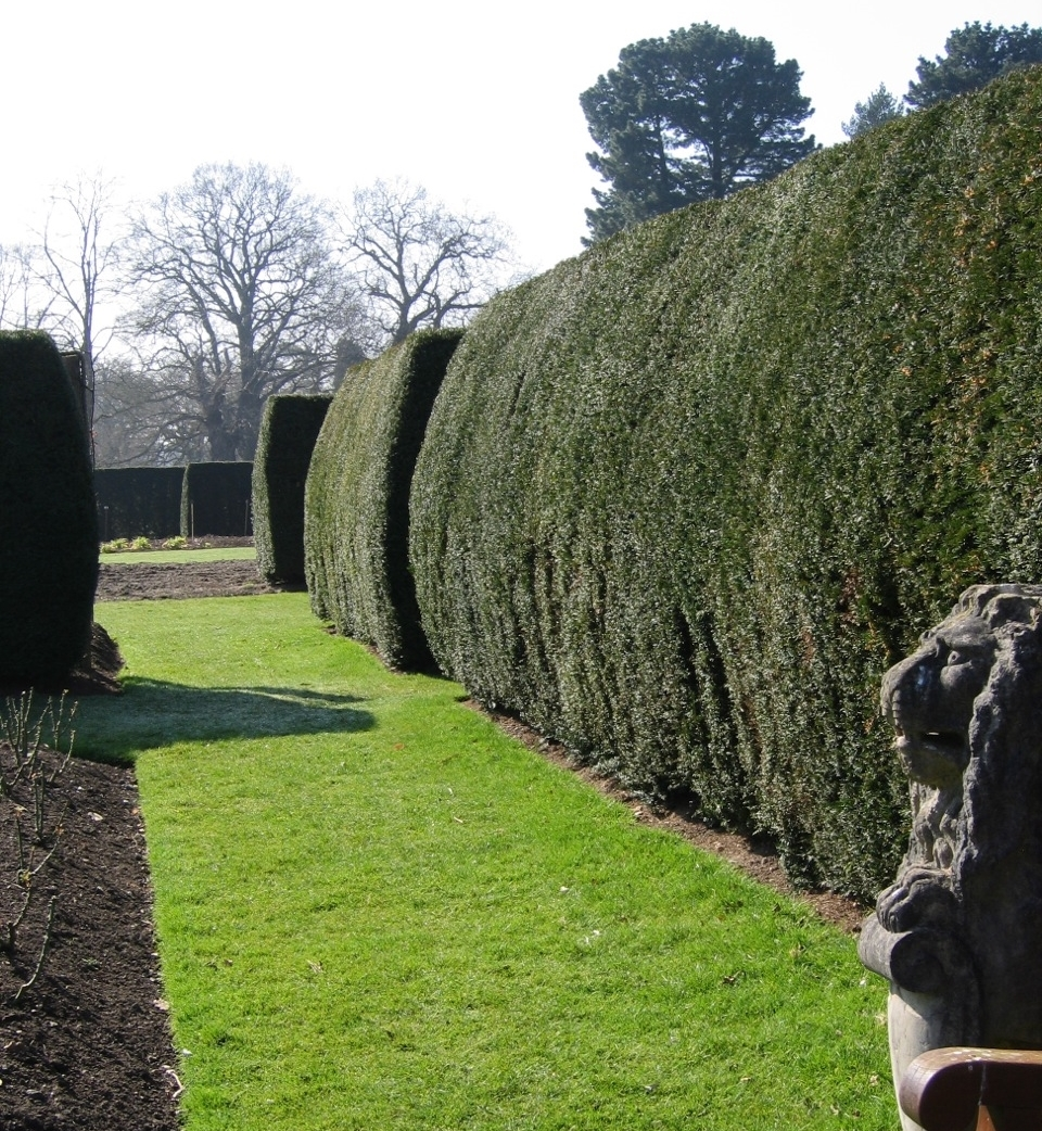 Notches in old yew hedges are invitations to explore. Savill Garden, near Surrey, England.