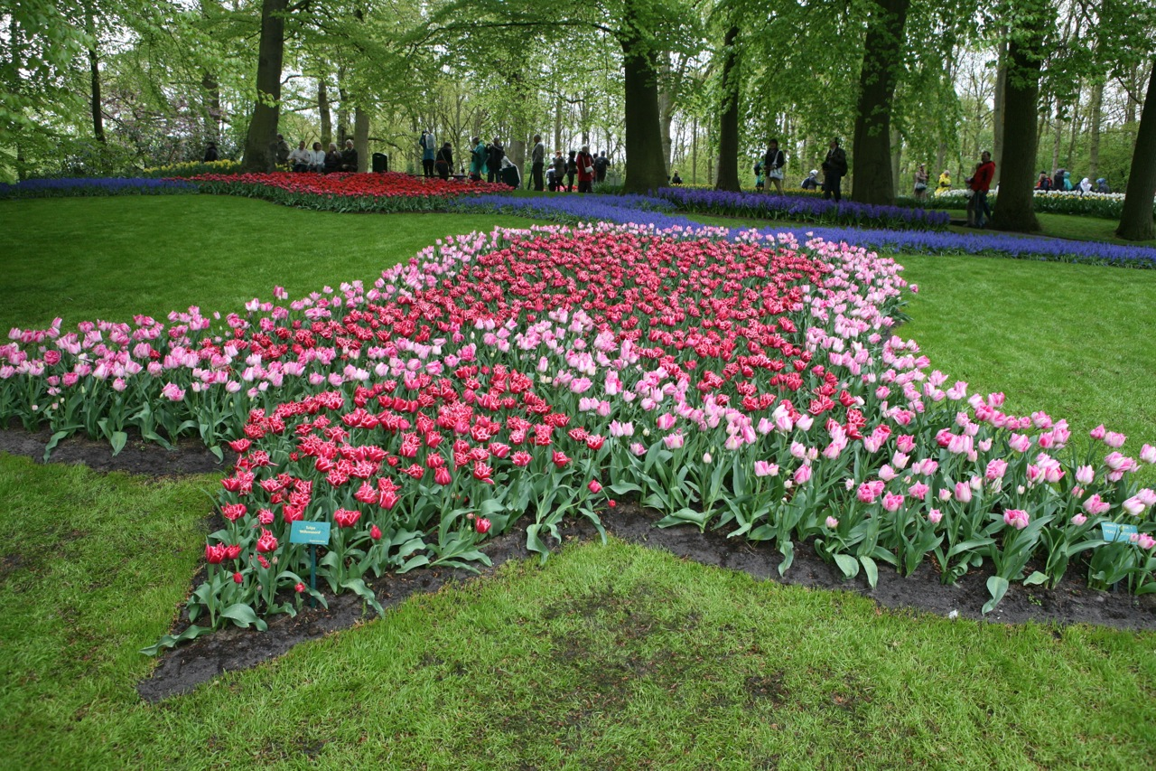 A tulip by tulips at the tulip garden of the world - Keukenhof.