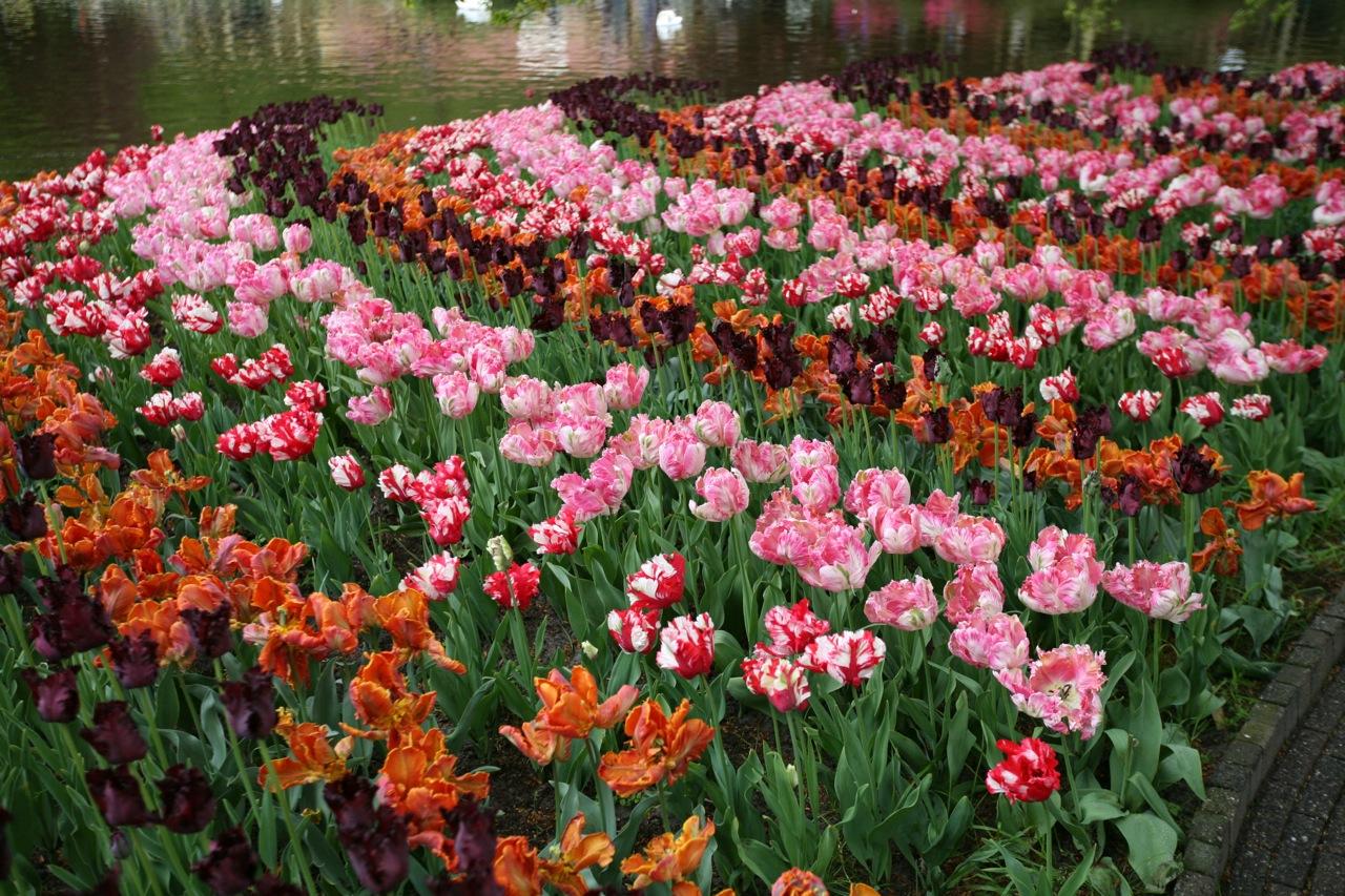 Tulips arranged in stripesat Keukenhof.