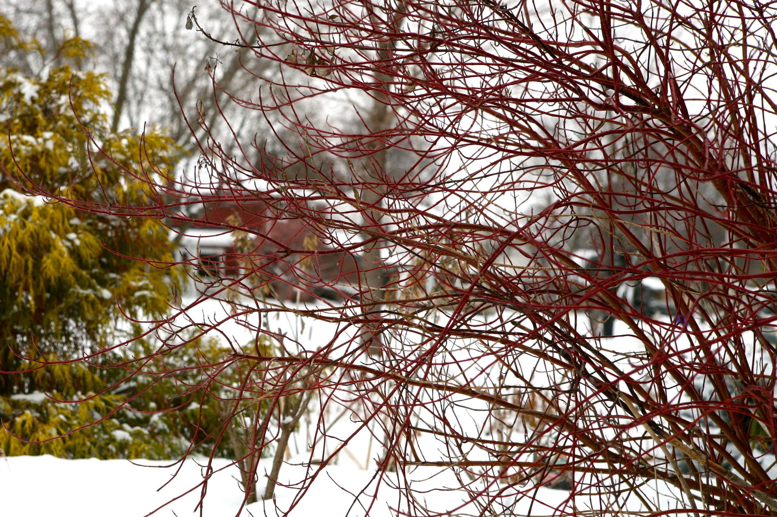 Red-twig dogwood provides interest all winter in Marcie's garden.