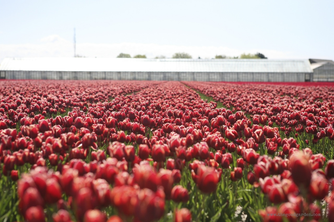 thegoodgarden|tulipfields|netherlands|6922.jpg